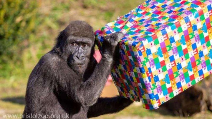 Una dintre puţinele gorile născute prin cezariană în Marea Britanie a împlinit 4 ani