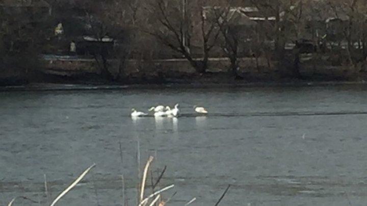 Şase lebede captive în ghiaţa lacului din Andreevca, salvate de locuitori şi pompieri