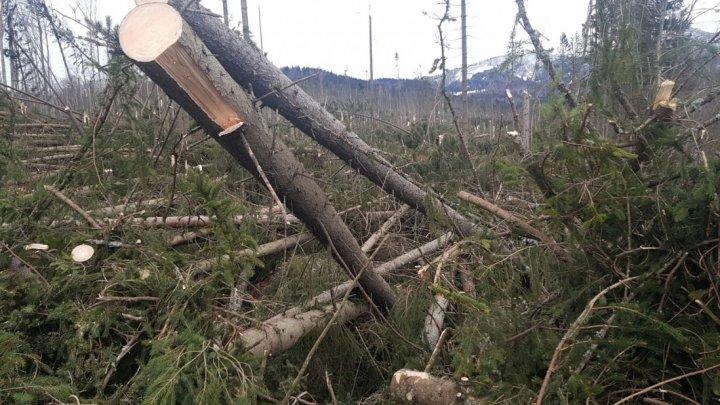 Vântul puternic a făcut prăpăd la Cheia: Sute de brazi, puşi la pământ