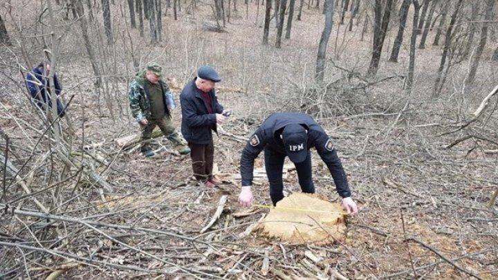 TAIE FĂRĂ MILĂ: 18 copaci, defrişaţi ilegal dintr-o pădure din satul Ciuciuleni