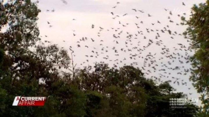 Tornadă de lilieci într-un oraș din Australia