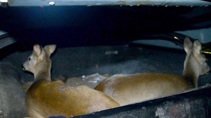 O căprioară împuşcată şi altele două vii, descoperite în maşina unui bărbat, la frontiera cu Moldova