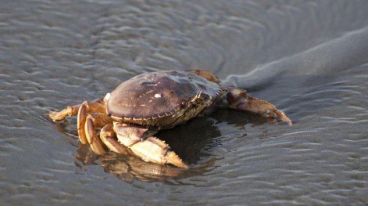 Studiu: Oceanele au devenit atât de acide încât dizolvă carapacele crabilor