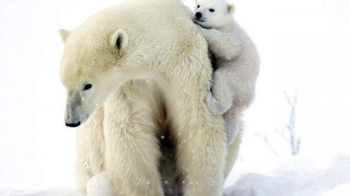 Urșii polari ar putea fi în pericol de dispariție. Ce spun specialiștii