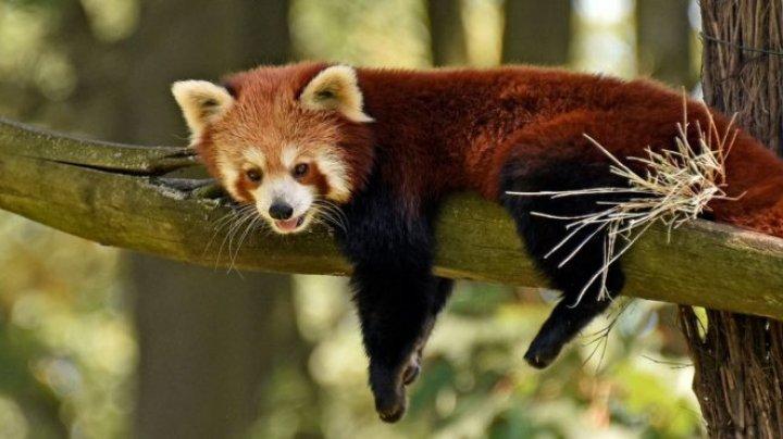 Există două specii de panda roşu. Prin ce se deosebesc şi cum arată (FOTO)