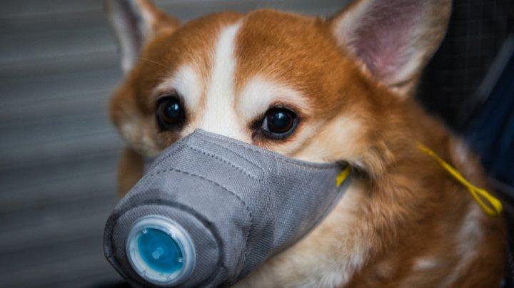 Animalele, purtătoare de coronavirus? Câinele unui pacient infectat cu Covid-19, depistat pozitiv și plasat în carantină