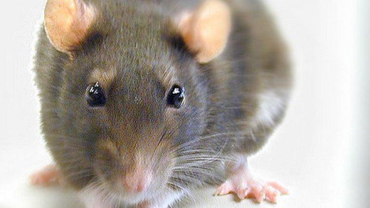 Cum s-a folosit un bărbat de șobolani pentru a se caza gratuit la hoteluri