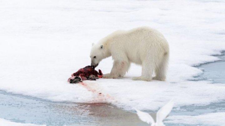Om de ştiinţă: Urşii polari, forţaţi să recurgă la canibalism pentru a supravieţui