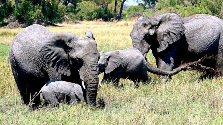 Botswana vinde permise pentru vânătoarea de elefanți. Cât costă să omori un animal