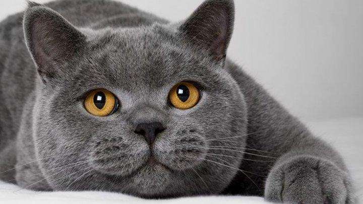 O pisică din Belgia, testată pozitiv cu coronavirus. Felina a fost infectată de către proprietarul său