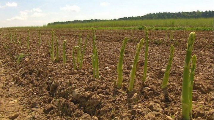 Coronavirusul afectează recoltele din Europa din cauza lipsei de muncitori sezonieri