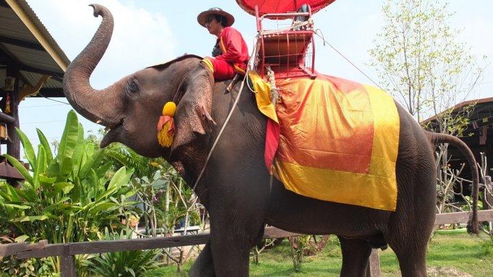 Elefanții din Thailanda folosiți în scop turistic riscă să moară de foame