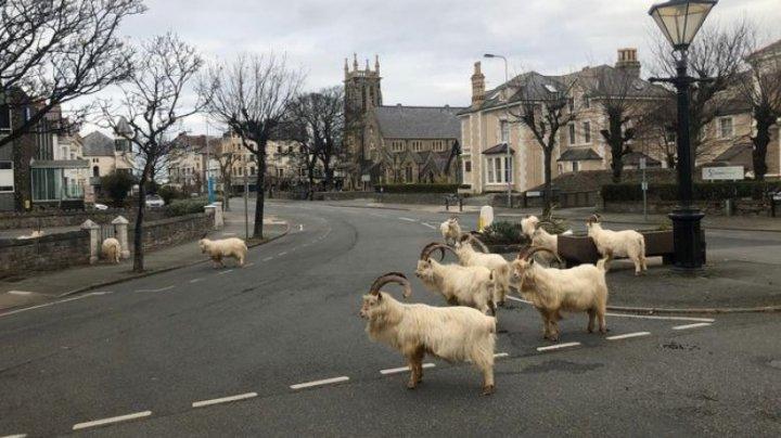 Oraș invadat de capre sălbatice după decretarea stării de urgenţă în Marea Britanie (VIDEO)