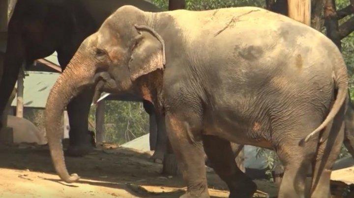 Zeci de elefanți din Thailanda au scăpat de scaunele grele pentru turiști