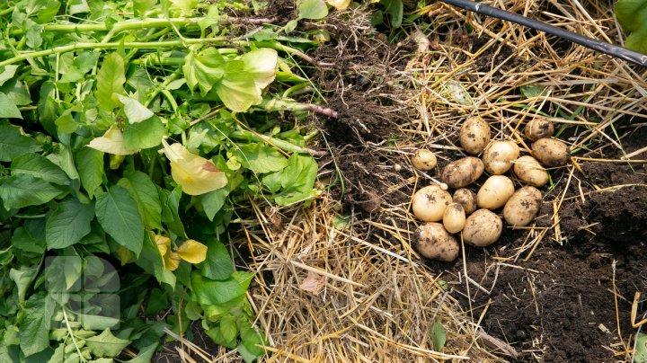 Primii cartofi crescuţi în serele moldoveneşti au apărut în vânzare. Cât costă un kilogram (FOTOREPORT)