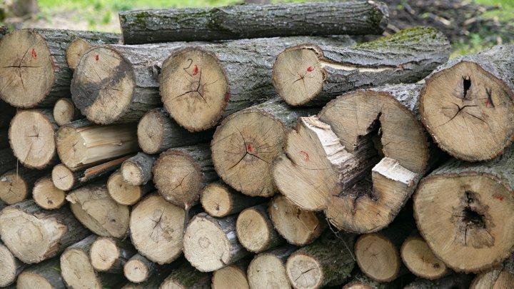 Tăieri de păduri cu nebădăi la Vatici, iar șefii întreprinderii silvice susțin că ar fi o eroare(FOTOREPORT)