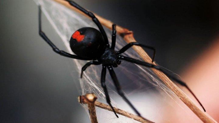 """Trei frați au ajuns la spital după ce au lăsat un păianjen veninos """"Văduva neagră"""" să-i muște, crezând că vor căpăta superputeri"""