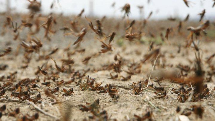 Autorităţile din India apelează la drone pentru a combate invazia de lăcuste