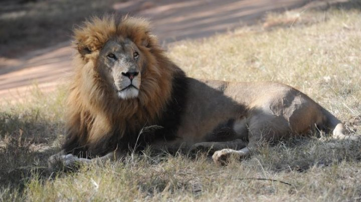 Angajata unei grădini zoologice din Australia, atacată și sfâșiată de doi lei