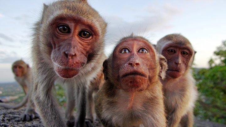 Mai multe maimuți din India au furat probe de sânge recoltate de la pacienți infectați cu coronavirus