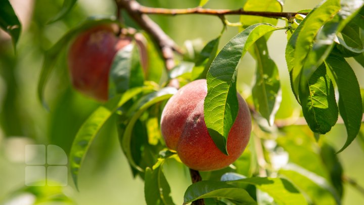 S-au copt piersicile autohtone, iar producătorii au început deja culesul fructelor (FOTOREPORT)
