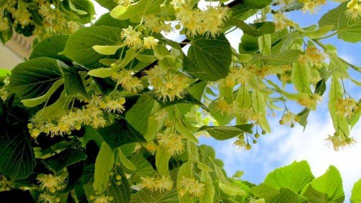 În ajun de Duminica Mare gospodarii pun frunze de nuc şi de tei la porţile caselor