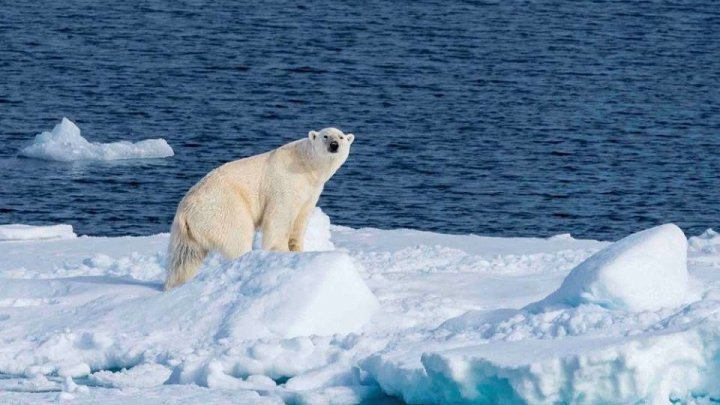Studiu: Urșii polari ar putea dispărea în următorii 80 de ani