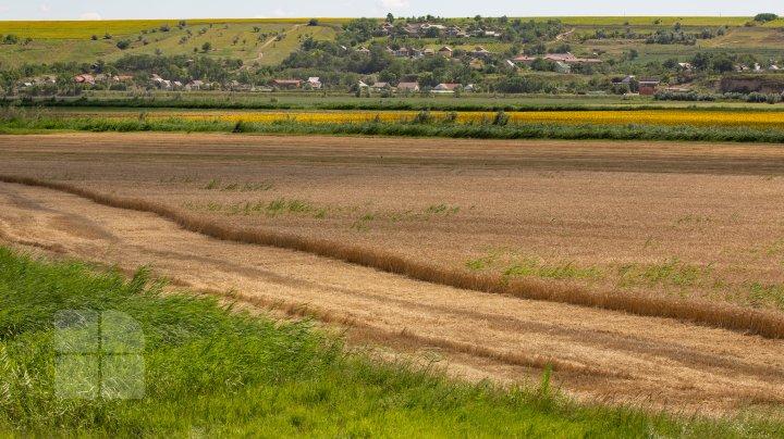 (FOTOREPORT) Frumuseţea lanurilor de grâu din raionul Cantemir