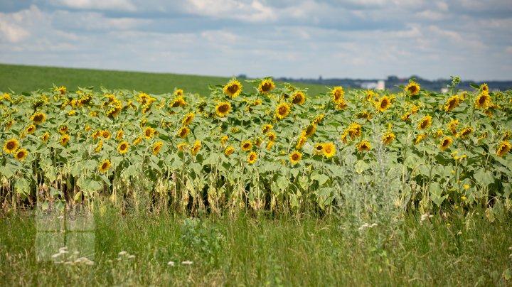 Start sesiunilor foto în floarea soarelui. Vezi o colecţie de fotografii colorate în galben