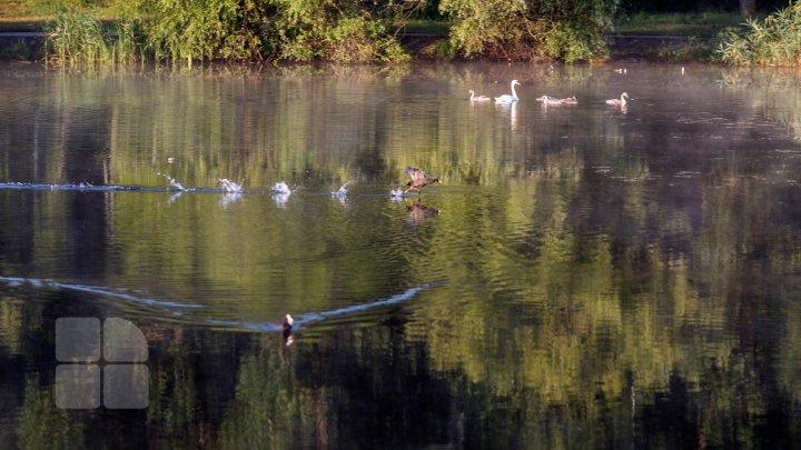 Frumuseţe rară. O lebădă şi puii ei, surprinşi pe lacul de la Porţile Oraşului (FOTOREPORT)