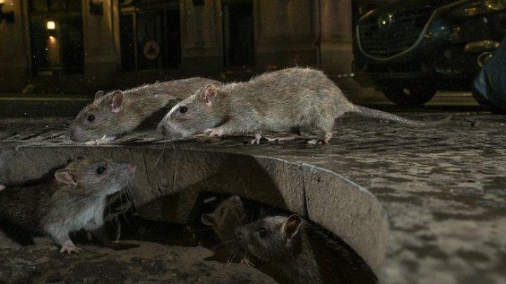 New York-ul, invadat de șobolani înfometați. Americanilor le este pactic imposibil să mănânce pe terasele restaurantelor