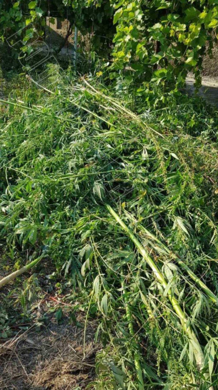 Plante de cânepă cu o înălţime de peste doi metri, depistate în gospodăria unui locuitor din oraşul Vulcăneşti (FOTO)