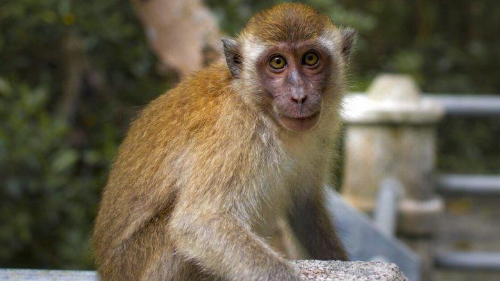 Doi bărbaţi au fost arestaţi după furturi cu ajutorul maimuţelor