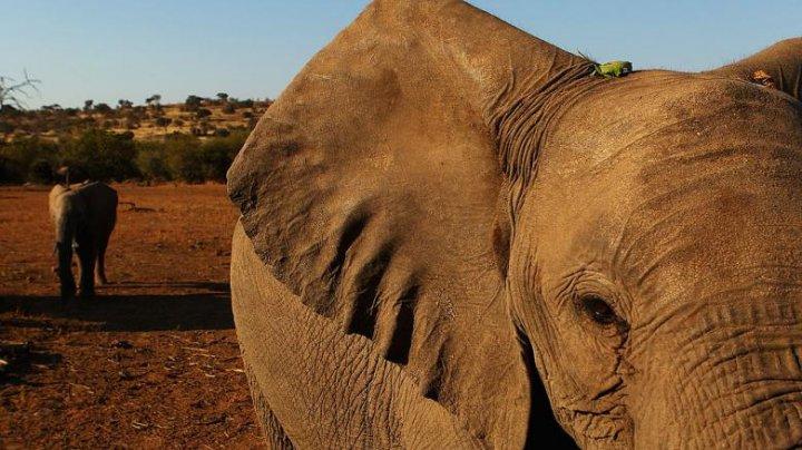 Moarte misterioasă: Sute de elefanţi, găsiţi morţi în Botswana
