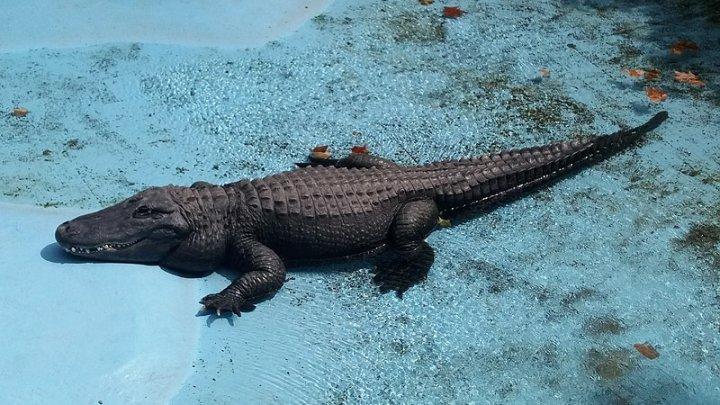 """A murit cel mai bătrân aligator crescut în captivitate. Reptila a fost """"martorul"""" bombardamentelor din timpul celui De-al Doilea Război Mondial"""