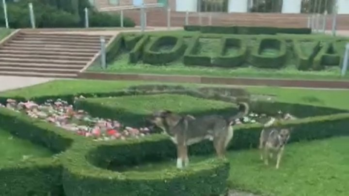O  haită de câini se plimbă nestingherit în centrul Capialei, chiar lângă Parlament. Ce măsuri întreprind autorităţile pentru a diminua numărul câinilor vagabonzi (VIDEO)