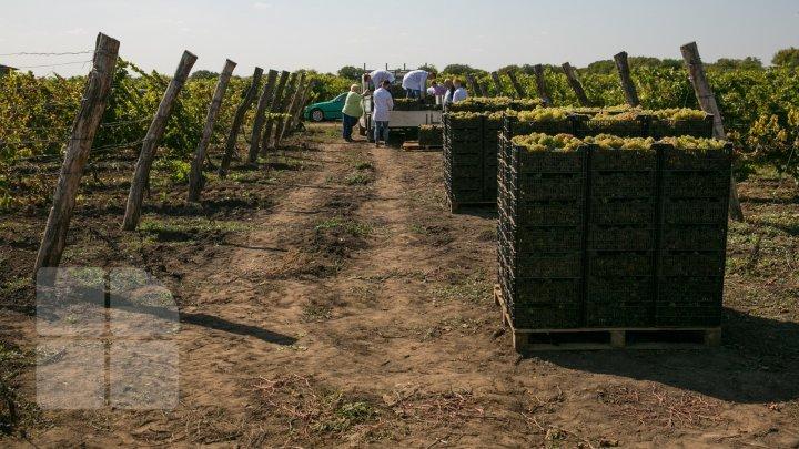 Forfotă pe podgoriile din Moldova. A fost dat startul recoltării strugurilor pentru vin