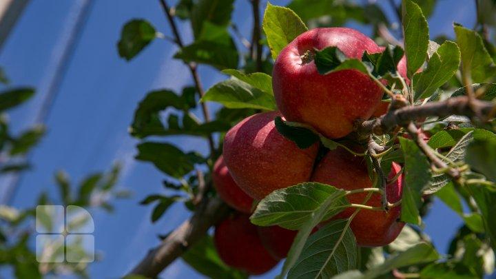 În livezile din ţară a început culesul merelor. Ce spun pomicultorii despre recolta din acest an (FOTOREPORT)