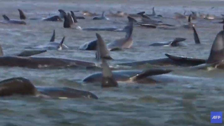 Imagini sfâşietoare în Tasmania. 270 de balene-pilot au eşuat pe un banc de nisip, iar 90 dintre ele au murit