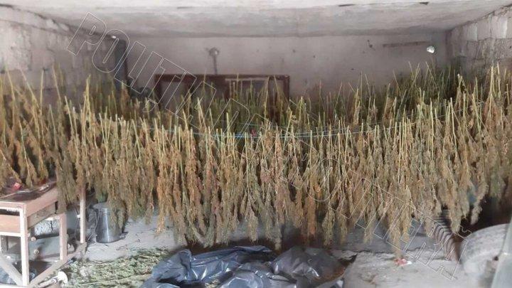 Sute de plante de cânepă, special cultivată, depistate în cadrul perchezițiilor