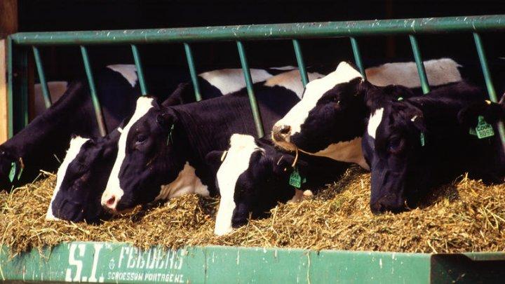 Animalele din fermele UE produc mai multe emisii decât mașinile și camionetele combinate
