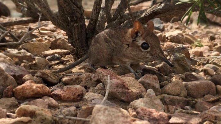 O specie de mamifere, redescoperită după 50 de ani
