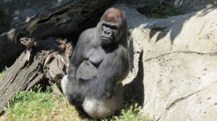 O gorilă de la grădina zoologică din Madrid și-a atacat îngrijitoarea. Femeia este în stare gravă