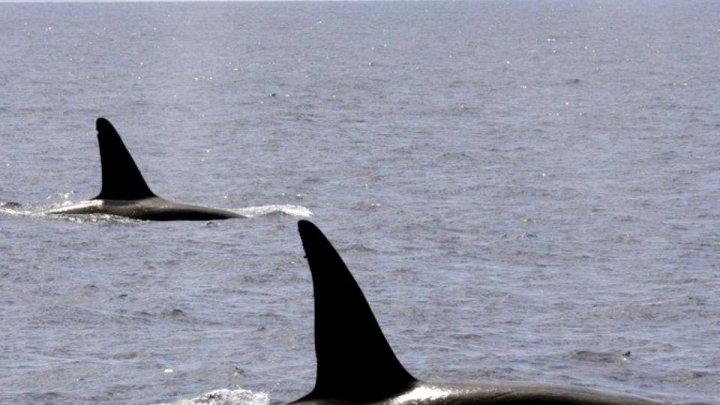 Alarmă de-a lungul coastelor Spaniei. Balenele ucigașe au început să atace iahturile și bărcile (VIDEO)