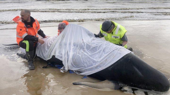 Aproape 500 de balene au eșuat într-un golf din Tasmania