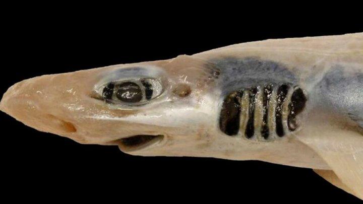 Descoperire șocantă. Oamenii de știință au găsit un rechin fără piele