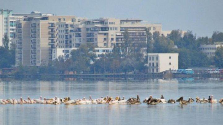 Fenomen uluitor în România: Zeci de pelicani au fost surprinşi pe Lacul Siutghiol