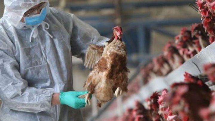 Răspândirea foarte rapidă a gripei aviare pune în pericol sectorul avicol din UE