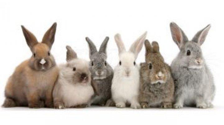 Doi români arestați în Italia după ce au fost prinși cu 6 iepuri furați în mașină