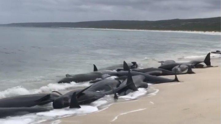 Sute de balene au murit după ce au eșuat în sudul Noii Zeelande
